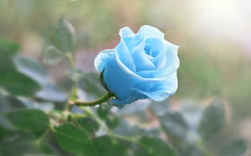 不倫相手を惚れさせる青いバラの待ち受け画像