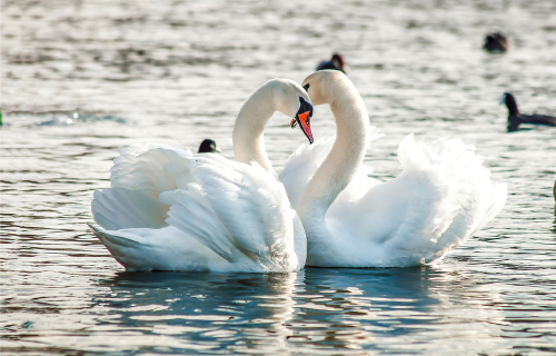 略奪愛できる白鳥の待ち受け画像