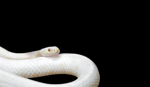 未練を断ち切る白い蛇の待ち受け画像